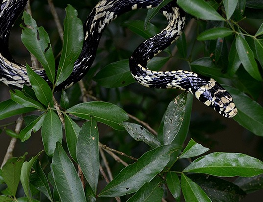 Picture of a chicken snake (Spilotes pullatus)