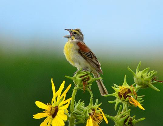 Picture of a dickcissel (Spiza americana)