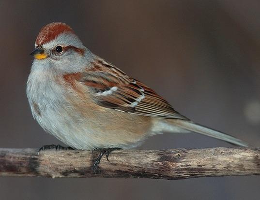 Picture of a american tree sparrow (Spizella arborea)