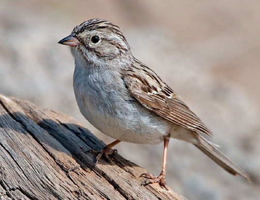 Picture of a brewer's sparrow (Spizella breweri)