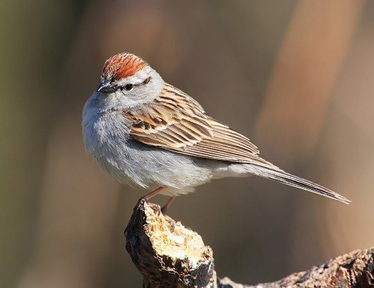 Picture of a chipping sparrow (Spizella passerina)