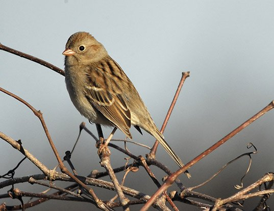 Picture of a field sparrow (Spizella pusilla)