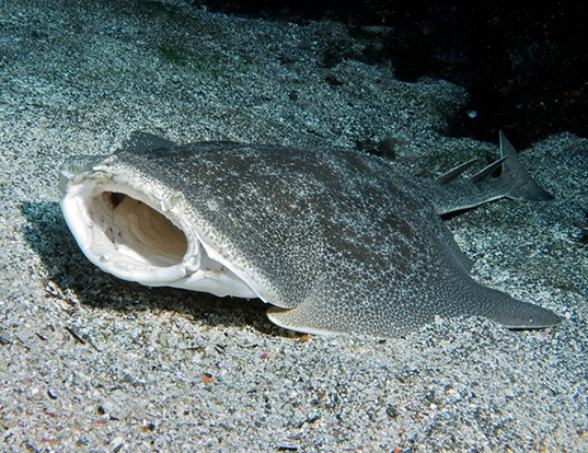 Picture of a pacific angel shark (Squatina californica)