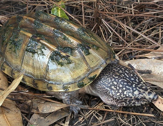 Picture of a mexican giant musk turtle (Staurotypus triporcatus)