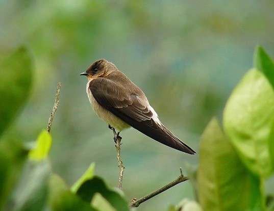 Picture of a southern rough-winged swallow (Stelgidopteryx ruficollis)