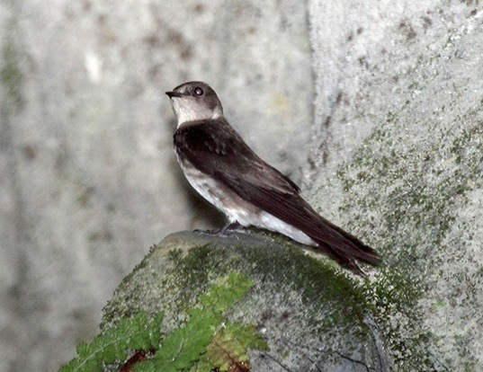 Picture of a northern rough-winged swallow (Stelgidopteryx serripennis)