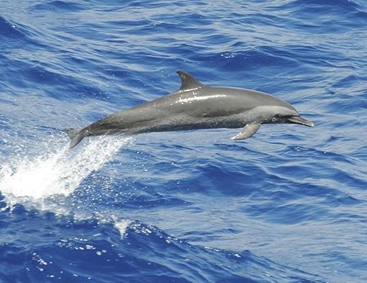 Picture of a pantropical spotted dolphin (Stenella attenuata)