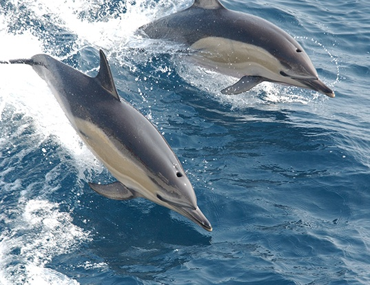 Picture of a striped dolphin (Stenella coeruleoalba)