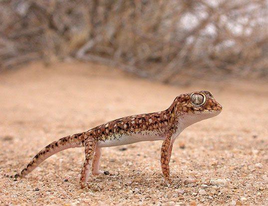 Picture of a elegant gecko (Stenodactylus stenodactylus)