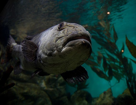 Picture of a giant sea bass (Stereolepis gigas)