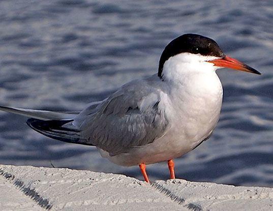 Picture of a tern (Sterna hirundo)