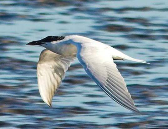 Picture of a gull-billed tern (Sterna nilotica)