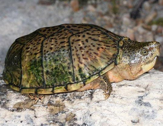 Picture of a razor-backed musk turtle (Sternotherus carinatus)