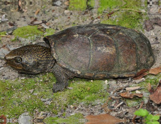 Picture of a loggerhead musk turtle (Sternotherus minor)