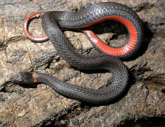 Picture of a red-bellied snake (Storeria occipitomaculata occipitomaculata)