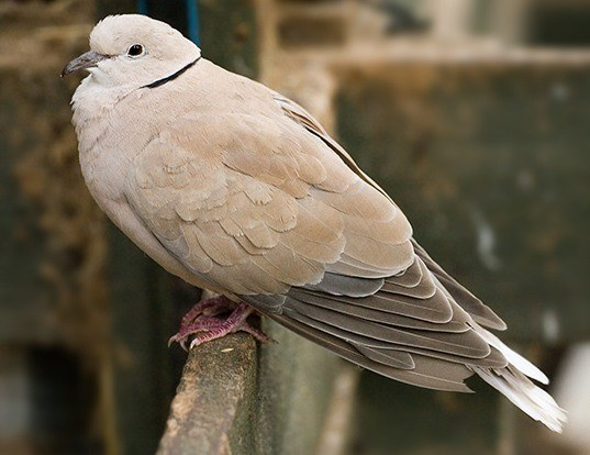 Picture of a african collared-dove (Streptopelia roseogrisea)