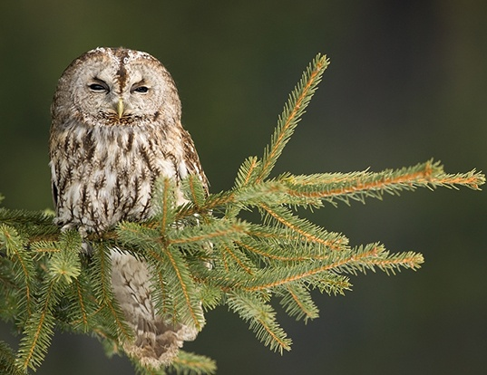 Picture of a tawny owl (Strix aluco)