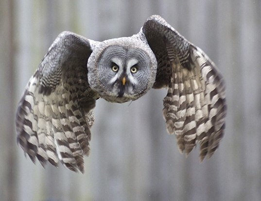 Picture of a great gray owl (Strix nebulosa)