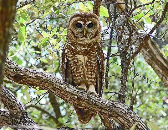 Picture of a spotted owl (Strix occidentalis)