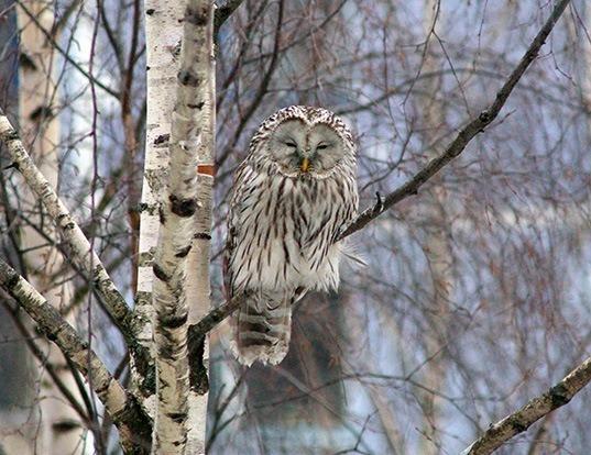 Picture of a ural owl (Strix uralensis)