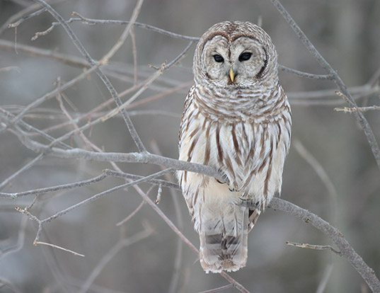 Picture of a barred owl (Strix varia)