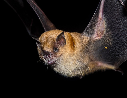 Picture of a little yellow-shouldered bat (Sturnira lilium)