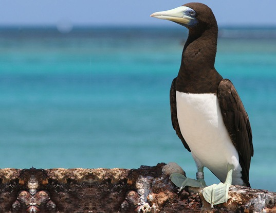 Picture of a brown booby (Sula leucogaster)