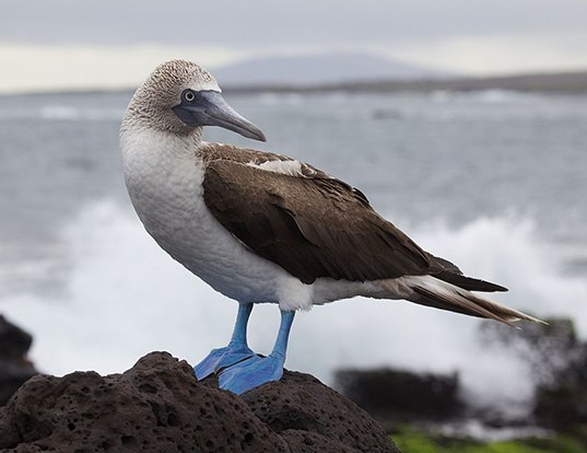 Picture of a blue-footed booby (Sula nebouxii)