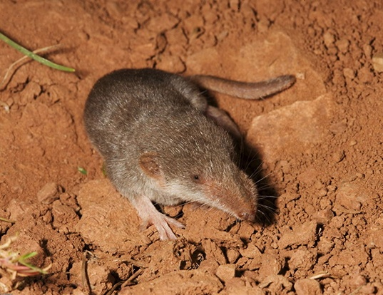 Picture of a white-toothed pygmy shrew (Suncus etruscus)