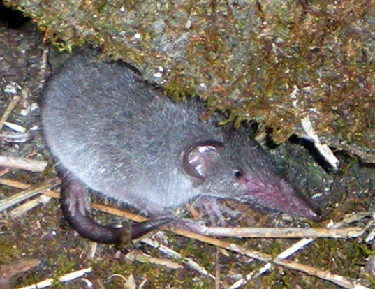 Picture of a house shrew (Suncus murinus)