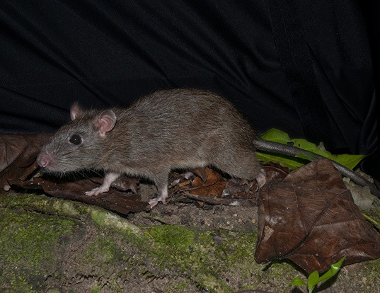 Picture of a muller's giant sunda rat (Sundamys muelleri)