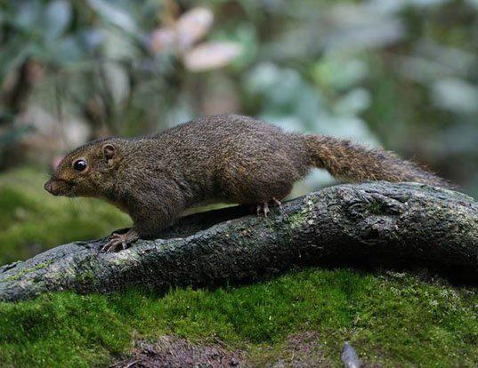 Picture of a low's squirrel (Sundasciurus lowii)