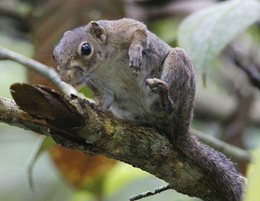 Picture of a slender squirrel (Sundasciurus tenuis)