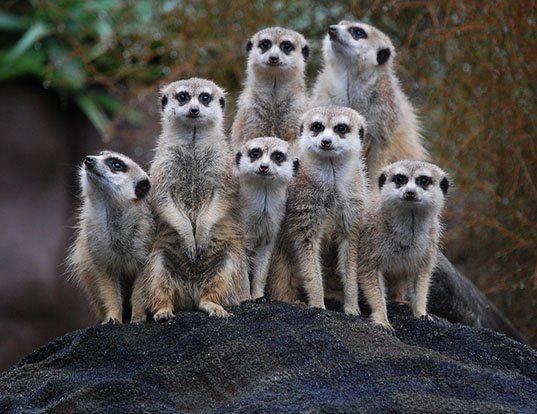 Picture of a meerkat (Suricata suricatta)