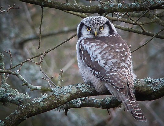 Picture of a northern hawk-owl (Surnia ulula)