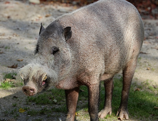Picture of a bearded pig (Sus barbatus)
