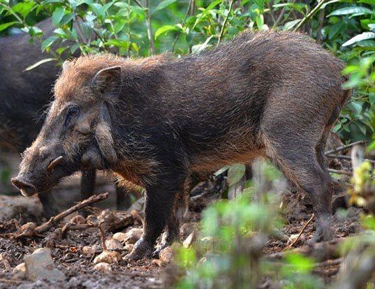 Picture of a javan warty pig (Sus verrucosus)