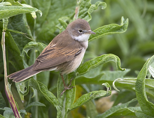 Picture of a whitethroat (Sylvia communis)