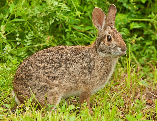 Picture of a swamp rabbit (Sylvilagus aquaticus)