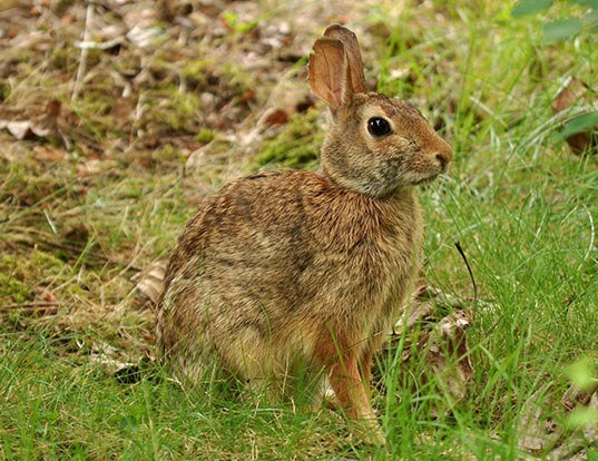 Picture of a eastern cottontail (Sylvilagus floridanus)