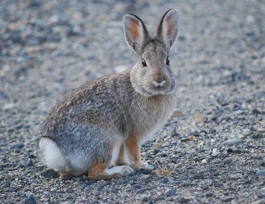 Picture of a mountain cottontail (Sylvilagus nuttallii)