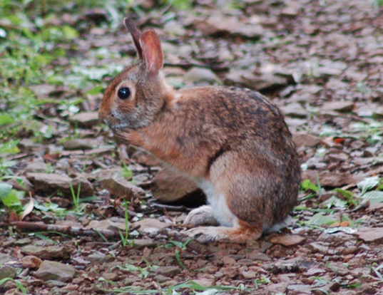 Picture of a appalachian cottontail (Sylvilagus obscurus)