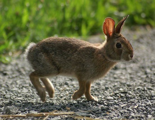 Picture of a new england cottontail (Sylvilagus transitionalis)