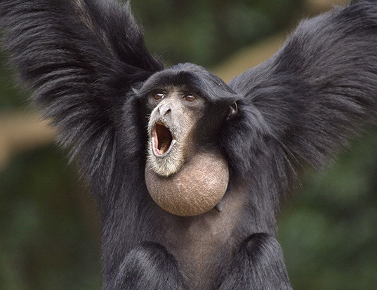Picture of a siamang (Symphalangus syndactylus)