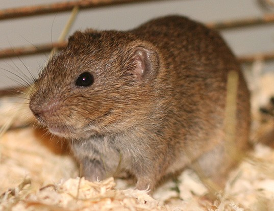 Picture of a kansas bog lemming (Synaptomys cooperi)