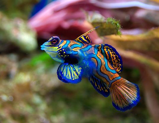 Picture of a mandarinfish (Synchiropus splendidus)