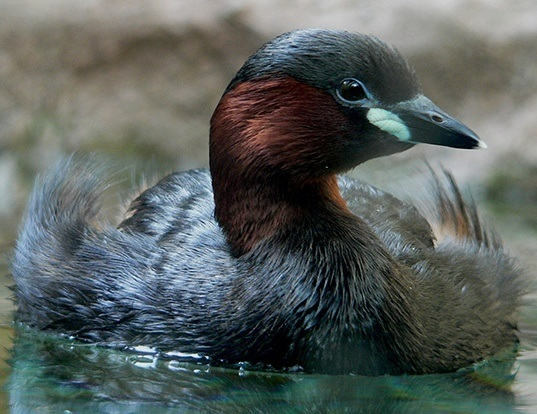 Picture of a little grebe (Tachybaptus ruficollis)