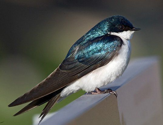 Picture of a tree swallow (Tachycineta bicolor)