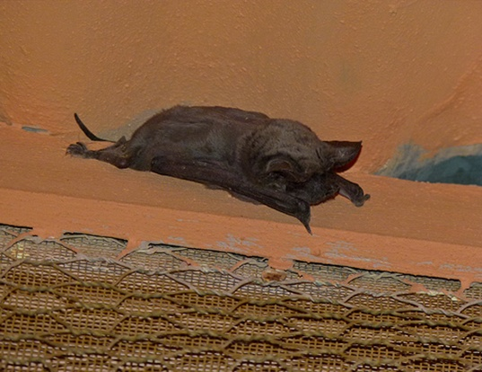 Picture of a egyptian free-tailed bat (Tadarida aegyptiaca)