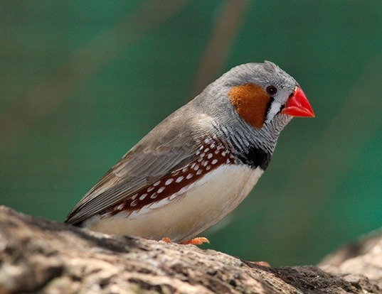 Picture of a zebra finch (Taeniopygia guttata)